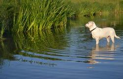 Schwimmenhund Stockfotos