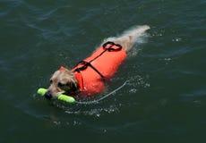 Schwimmenhund mit Schwimmweste Stockfotos