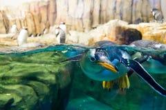 Schwimmenpinguin, der Unterwasser schaut stockfotografie