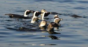 Schwimmenpinguine Der afrikanische Pinguin (Spheniscus demersus) Stockfotografie