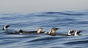 Schwimmenpinguine Der afrikanische Pinguin (Spheniscus demersus) Stockfotos