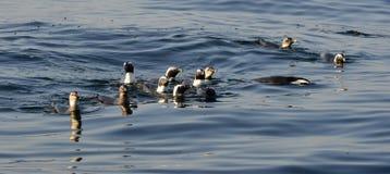 Schwimmenpinguine Der afrikanische Pinguin (Spheniscus demersus) Lizenzfreies Stockfoto