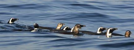 Schwimmenpinguine Der afrikanische Pinguin (Spheniscus demersus) Lizenzfreies Stockbild