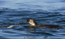 Schwimmenpinguine Der afrikanische Pinguin (Spheniscus demersus) Lizenzfreie Stockfotos