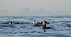 Schwimmenpinguine Der afrikanische Pinguin (Spheniscus demersus) Stockbild