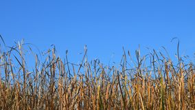 Schwing-Reed Grass im Wind in dem Meer mit blauem Himmel stock video