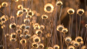 Schwingen auf Windtrockenblumen stock video footage