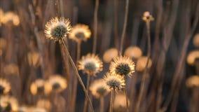 Schwingen auf Windtrockenblumen stock video