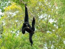 Schwingen und Fall Siamang Gibbon auf Baum Lizenzfreies Stockbild