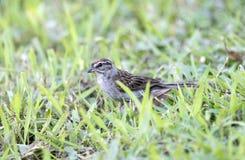 Schwirrammer-Vogel, Athen Georgia USA stockbilder