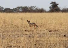 Sciacallo africano Fotografia Stock