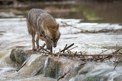 Sciacallo che cammina attraverso un fiume Fotografia Stock Libera da Diritti