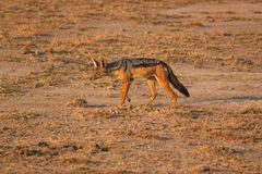 Sciacallo col dorso nero - Safary Kenya Fotografia Stock