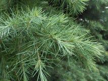 Sciadopitys Verticillata (Japanese Umbrella Pine) Tree Branches. Royalty Free Stock Image