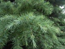 Sciadopitys Verticillata (Japanese Umbrella Pine) Tree Branches. Royalty Free Stock Photos