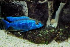 Sciaenochromis fryeri Royalty Free Stock Images