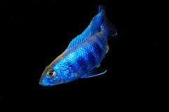 Sciaenochromis fryeri Royalty Free Stock Photo