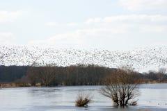 Sciame degli uccelli sopra il fiume Fotografia Stock Libera da Diritti