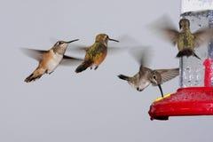 Sciame dei colibrì ad un alimentatore Fotografia Stock