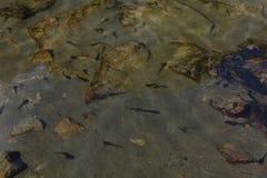 Sciame dei girini di nuoto in un lago Fotografia Stock