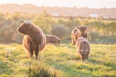 Sciame dei moscerini che attaccano le mucche dell'altopiano fotografie stock libere da diritti