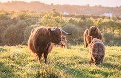 Sciame dei moscerini che attaccano le mucche dell'altopiano immagini stock libere da diritti