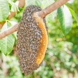 Sciame dell'ape mellifica Fotografie Stock Libere da Diritti