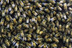 Sciame dell'ape in un alveare Fotografia Stock Libera da Diritti