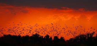 Sciame dell'uccello nel tramonto Fotografia Stock Libera da Diritti