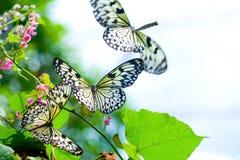 Sciame della farfalla di carta del cervo volante Immagini Stock