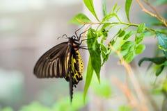 Sciame della farfalla di giallo di Beautiflu Immagini Stock