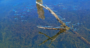 Sciame della libellula Fotografie Stock