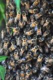 Sciame delle api immagine stock libera da diritti