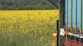 Sciame delle api stock footage