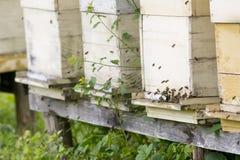 Sciame delle api e degli alveari Immagini Stock