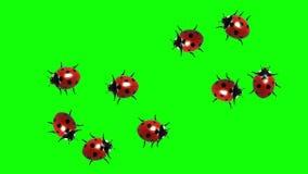 Sciame delle coccinelle, CG animato sullo schermo verde, ciclo senza cuciture illustrazione vettoriale