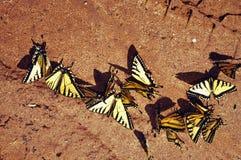 Sciame delle farfalle Immagine Stock