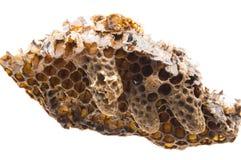 Sciami le celle reali, le celle reali di emergenza, celle reali artificiali con le regine dell'ape fotografia stock libera da diritti