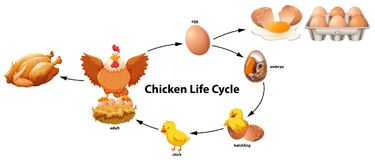 Science of Chicken Life Cycle vector illustration