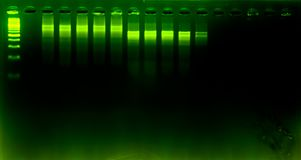 The science DNA analysis by PCR-RFLP of Apis mellifera by gel electrophoresis, PCR band of honey bees, DNA sequencing technique an. D gel electrophoresis royalty free stock photos