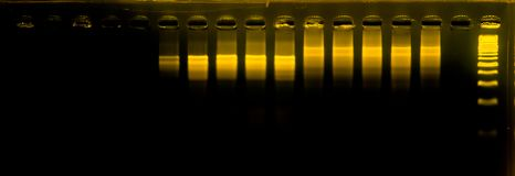 The science DNA analysis by PCR-RFLP of Apis mellifera by gel electrophoresis, PCR band of honey bees, DNA sequencing technique an. D gel electrophoresis royalty free stock photo