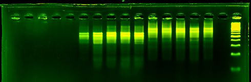 The science DNA analysis by PCR-RFLP of Apis mellifera by gel electrophoresis, PCR band of honey bees, DNA sequencing technique an. D gel electrophoresis stock images