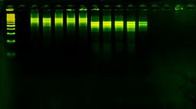 The science DNA analysis by PCR-RFLP of Apis mellifera by gel electrophoresis, PCR band of honey bees, DNA sequencing technique an. D gel electrophoresis stock photography