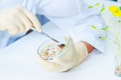 Science and Lab Research.A scientist holding a Petri Dish with V Royalty Free Stock Photo