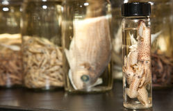 Science Laboratory: Cuttlefish Sample Stock Photos