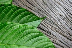 Science Research leaves of Mitragyna speciosa kratom and Chemical analysis in Lab. stock photography