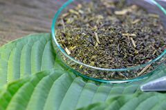 Leaves of Mitragyna speciosa kratom and Chemical analysis in Lab. Science Research leaves of Mitragyna speciosa kratom and Chemical analysis in Lab royalty free stock image