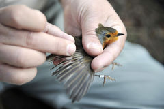 Scientific bird ringing Royalty Free Stock Images