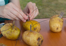 Scientific experiment on extracting electricity from potatoes Royalty Free Stock Photography