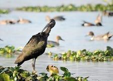 Glossy Ibis stock image